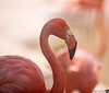 June 11, 2014 - another flamingo portrait