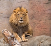 February 2, 2014 - The King of the Jungle !<br /> <br /> A trip to Sacramento Zoo !