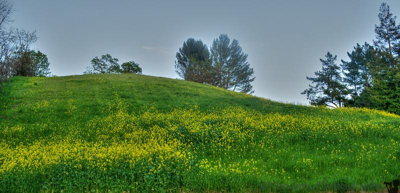 March 18, 2014 - Mustard flowers at Mt.Diablo