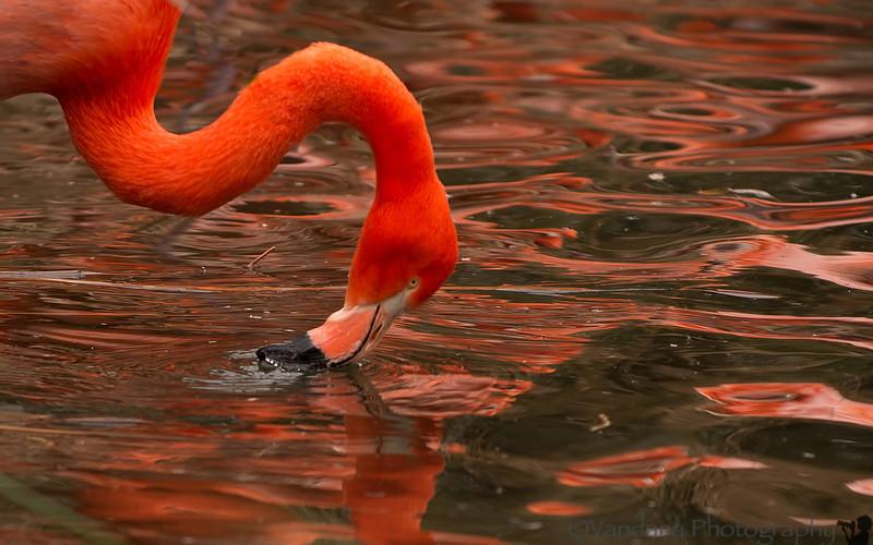 February 4, 2014 - Painting it orange ! <br /> <br /> flamingoes at Sacramento Zoo
