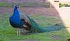 February 19, 2014 - a peacock at Ardenwood farm