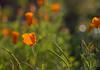 April 4, 2014 - the California poppy