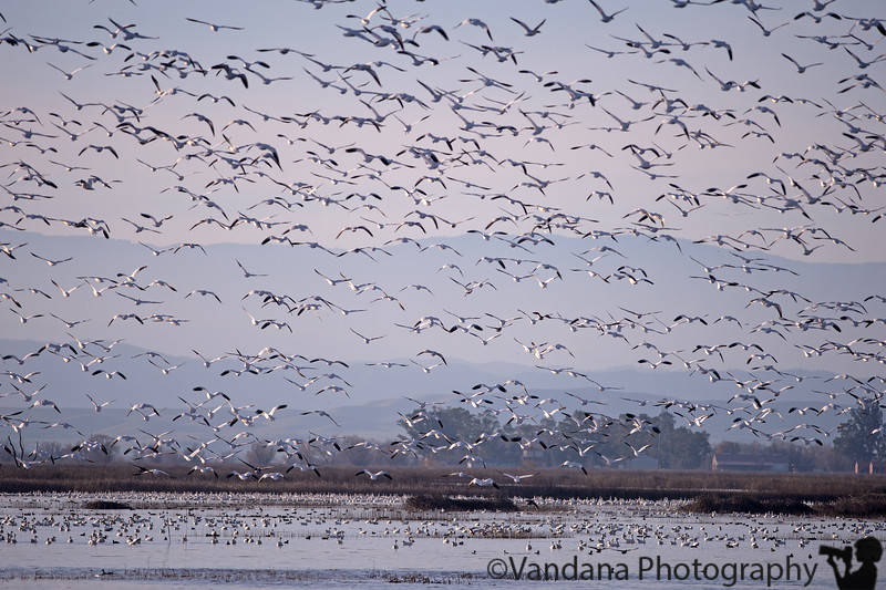 January 5, 2015 - Snow geese in flight, Sacramento National Wildlife Refuge<br /> <br /> always so wonderful to see ! and Arjun yelling, 'mother geese' !