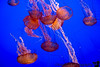 September 14, 2015 - Jellyfish at Monterey Aquarium - could watch them for hours !