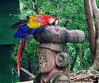 December 30, 2015 - Macaw, at Mayan Eden, Honduras<br /> <br /> Just me and Arjun ventured into Honduras, while K took a break in the ship. only iphone camera taken, but lots of fun in a butterfly garden, with macaws, toucans and spider monkeys..