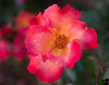 June 9, 2015 - a wild rose
