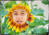 July 18, 2015 -  a new sunflower species emerges in the backyard !