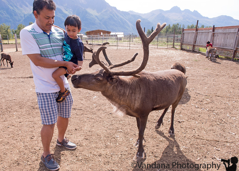 August 13, 2015 - A visit to Reindeer Farm, Palmer, AK<br /> <br /> Arjun was very brave and fed the reindeers there, I was the one more scared of their antlers !