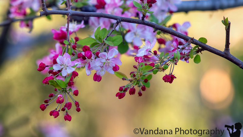 March 7, 2015 - Spring blossoms have come !