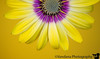 June 11, 2015 - the osteospermum for a happy, sunny disposition