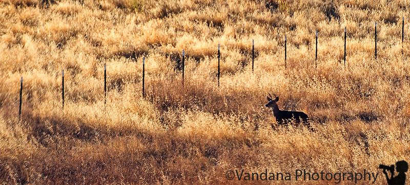 September 30, 2015 - a deer crossing near home