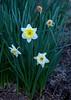 March 17, 2015 - Daffodils