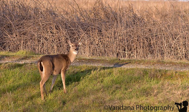 January 4, 2015 - a deer looks back