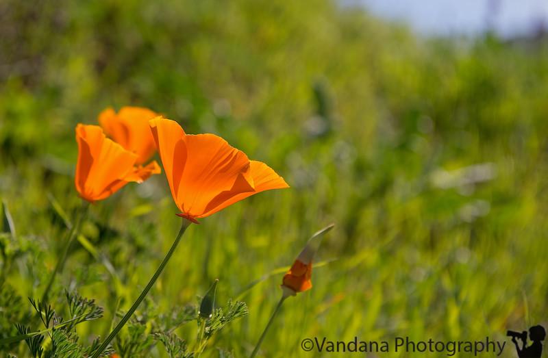 March 12, 2015 - Poppies on Mt.Diablo