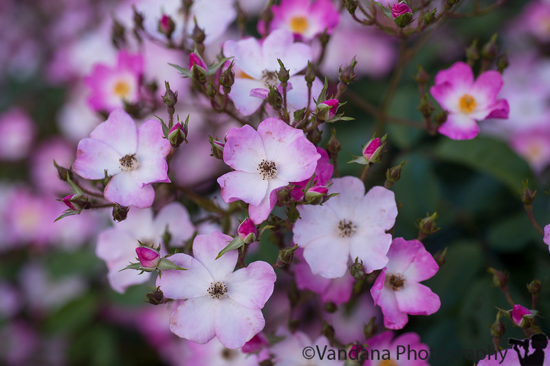 April 28, 2015 - lovely colors, smells, and sights at Heather farm gardens