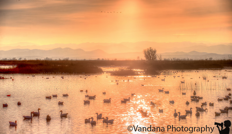 January 27, 2015 - Snow geese here and there