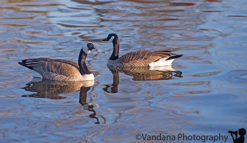 March 19, 2015 - canada geese reflections