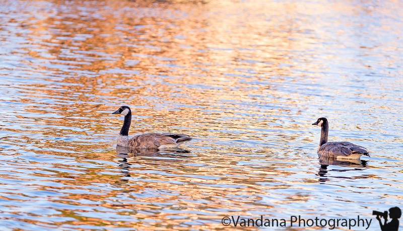June 29, 2015 - Geese in motion