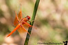 June 20, 2015 - Orange dragonfly at Heather Farm Park<br /> <br /> Event of the day - Arjun's first movie in a theatre - 'Inside Out', what a wonderful first movie ! He loved it !