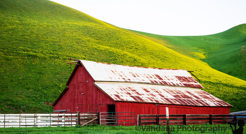February 28, 2015 - the red barn( with lovely mustard flowers in the background)