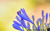 June 19, 2015 - Agapanthus blooming