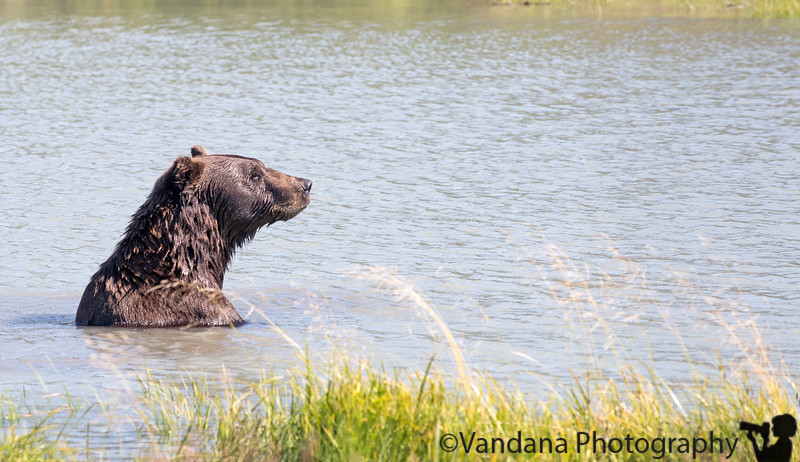 September 3, 2015 - the brown bear, AK<br /> <br /> Still processing AK pictures, so many !