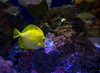 December 15, 2015 - Yellow fish at the aquarium, California Academy of Science