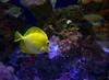 December 15, 2015 - Yellow fish at the aquarium, California Academy of Science