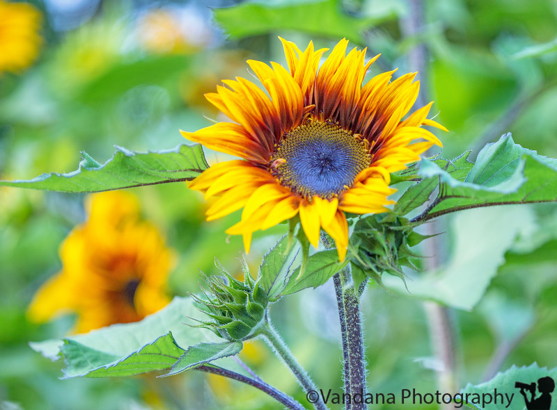 June 27, 2015 - Sunflowers