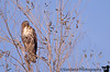 January 3, 2015 - Red tail hawk, Sacramento National Wildlife refuge