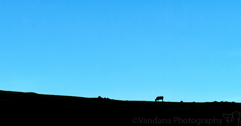 January 23, 2015 - the lone cow