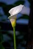 May 25, 2015 - a calla lily