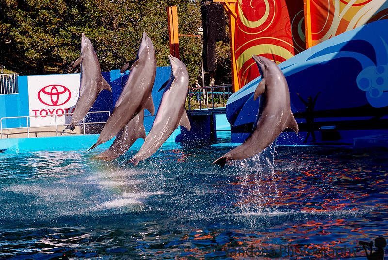 October 8, 2015 - Dolphin show, Six flags discovery Kingdom
