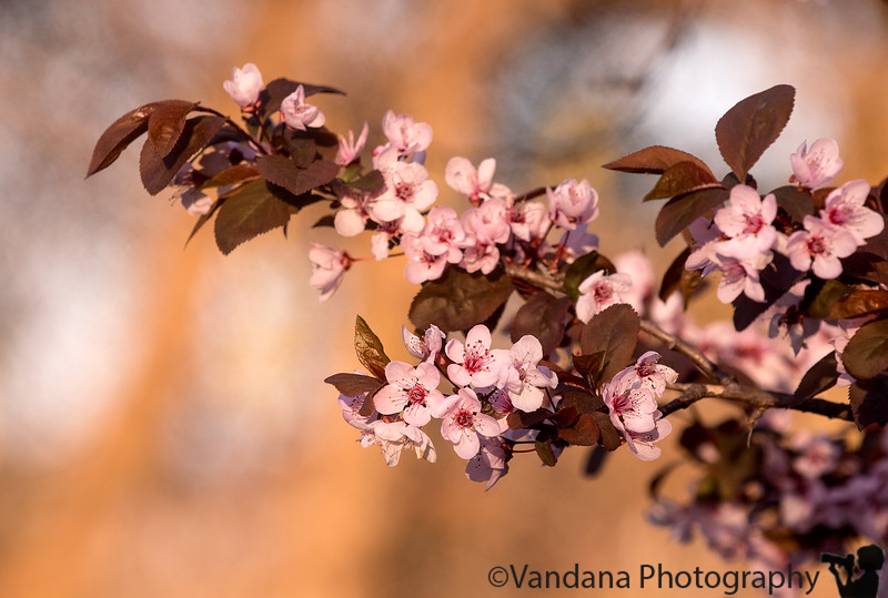 March 15, 2015 - Pink blossoms