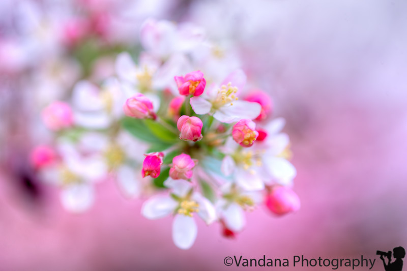 February 29, 2016 - Happy leap day !! celebrate with some soft pink blossoms !