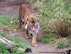 December 5, 2016 - Tiger on the move