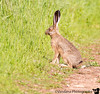March 20, 2016 - a hare on the hike