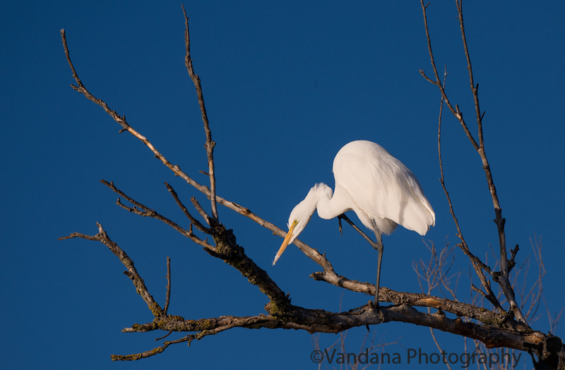 December 28, 2016 - Great Snowy egret at Sacramento National Wildlife Refuge