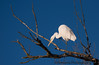 December 28, 2016 - Great Snowy egret at Sacramento National Wildlife Refuge