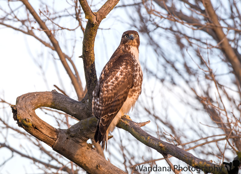 December 30, 2016 - the red tail hawk - spotted by Arjun, the little avid birder :)