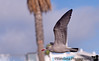 January 21, 2016 - Seagull in flight