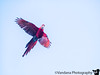 November 30, 2017 - A Macaw in flight