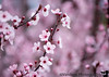 March 21, 2017 - More spring blossoms<br /> most of them falling now with the rain:(