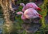 November 27, 2017 - Flamingoes at San Diego Safari Park
