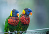 December 12, 2017 - The cute Lorikeets