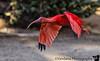 December 8, 2017 - Red Ibis in flight, San Diego Safari Park