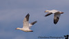 January 5, 2017 - Snow geese in flight