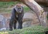 December 16, 2017 - Gorilla mom