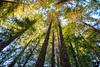 January 17, 2017 - Tall, tall trees at Redwood Regional Park, Oakland