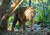 December 2, 2017 - Tiger spotting, Safari Park, San Diego